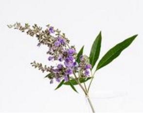Chasteberry plant flowering